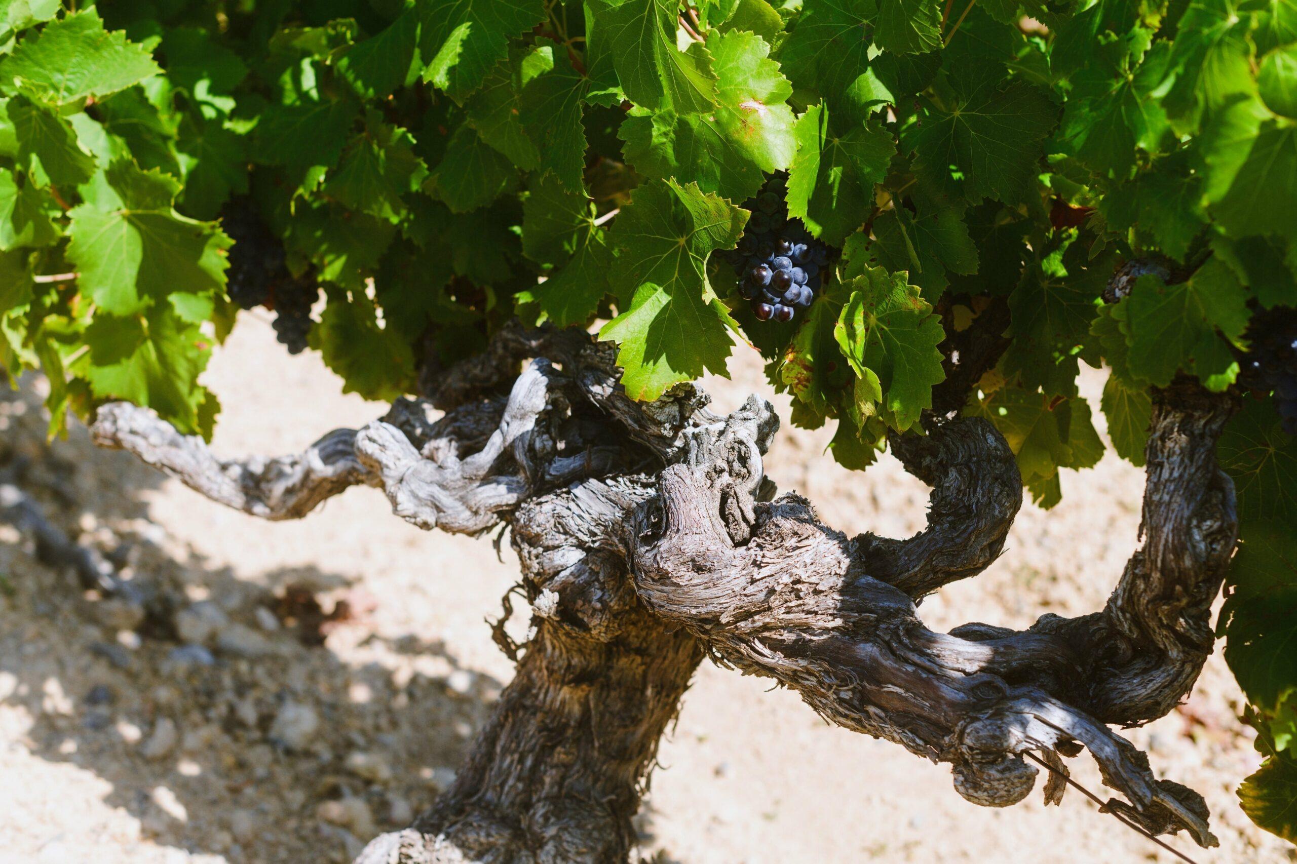 Photos pieds de vigne avec grappe de raisin