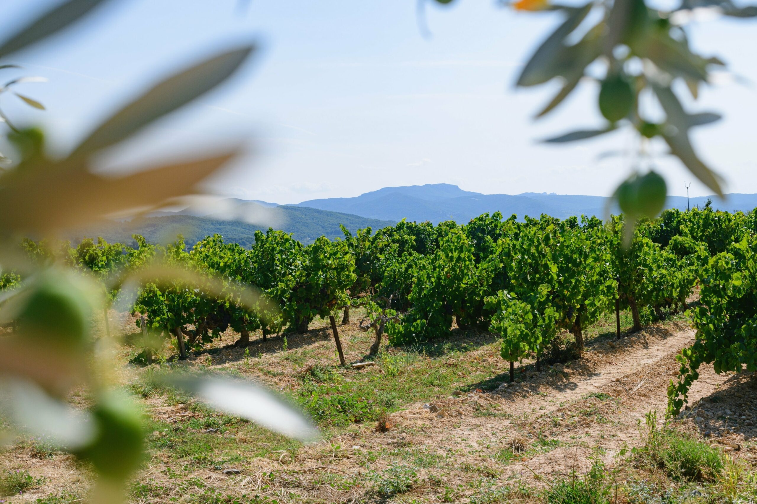 Photos champs de vignes