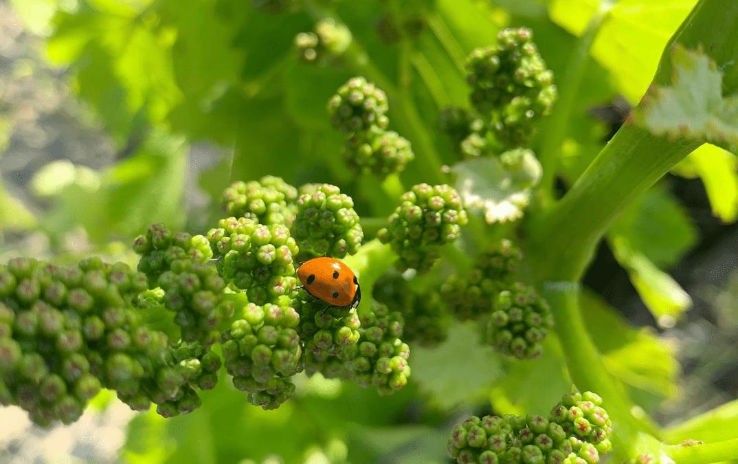 Photo coccinelle sur grappe de vin en bourgeonnement