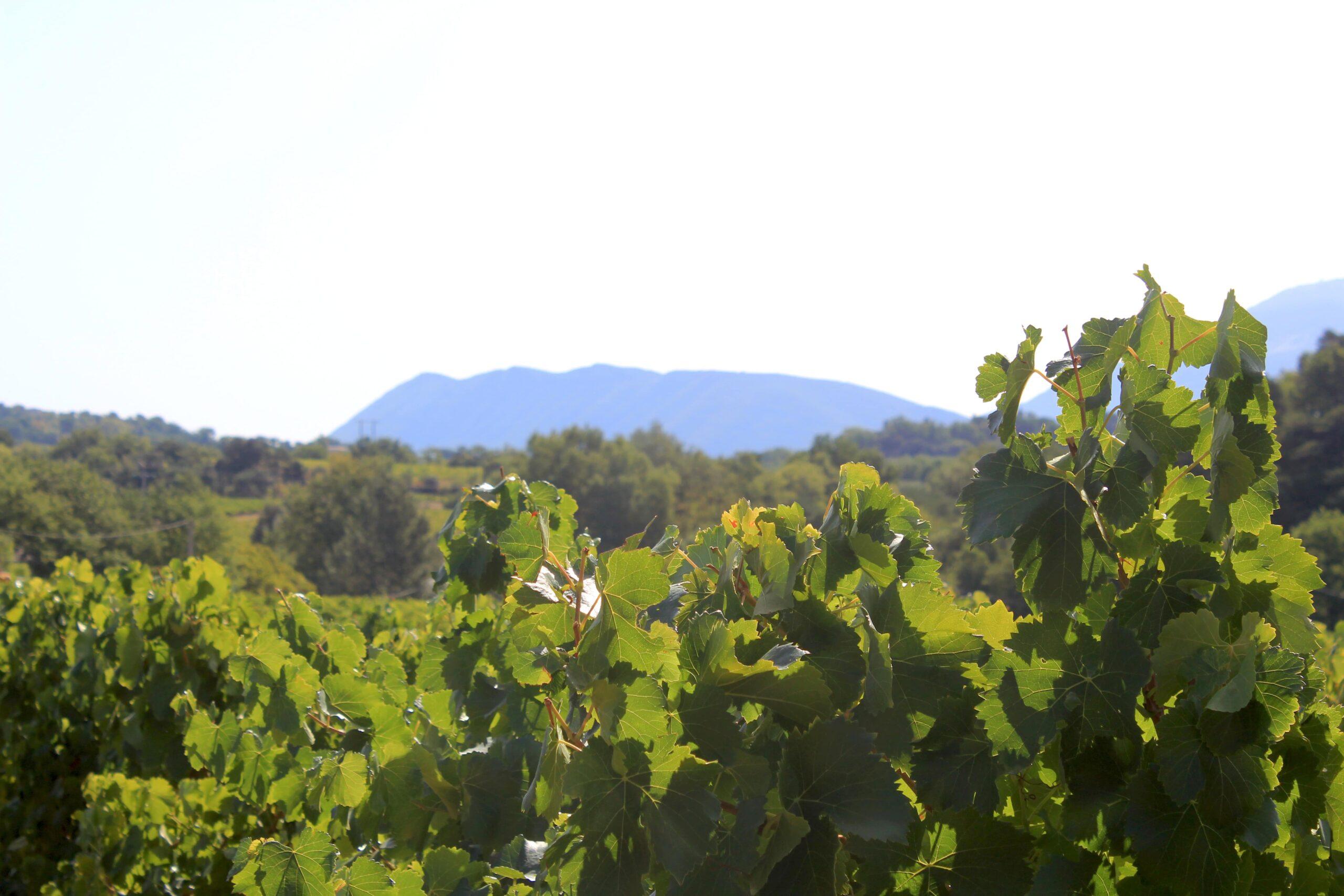 Photos champs de vigne avec vue sur colline